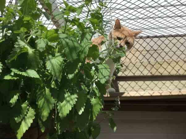 Catnip hanging basket