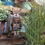 bengal cat, Sarabi