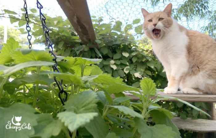 Cat find catnip hanging basket in the catio