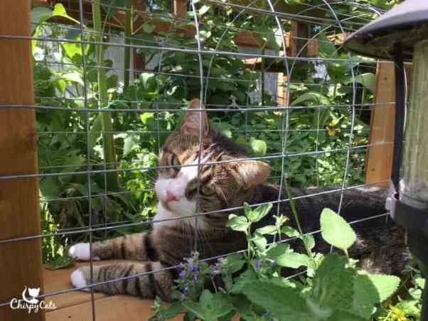 Charlie takes in the scent in the catnip tunnel