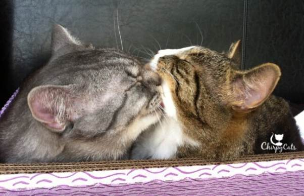 Cats grooming each other