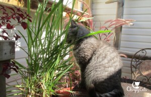 Cat chewing lemongrass