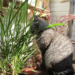 Cat chewing lemongrass