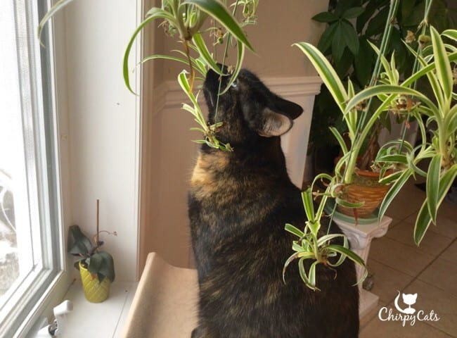 cat and spider plant