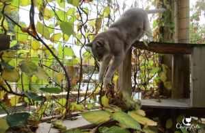 Senior cat jumps from ramp