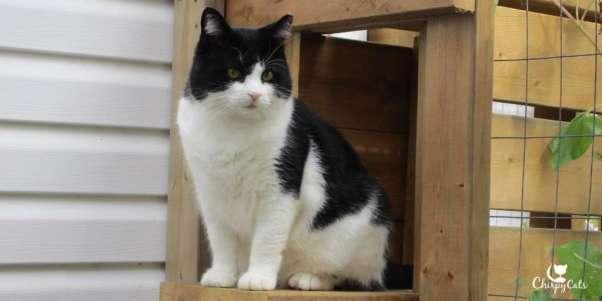 tuxedo cat looks cute