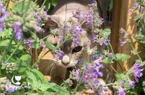 catmint tunnel