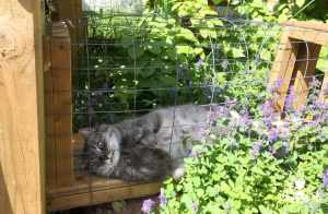 Mr. Jack the cat loves to roll among the catmint