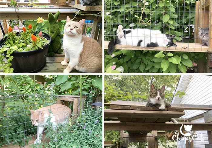 cats enjoying exploring their catio.