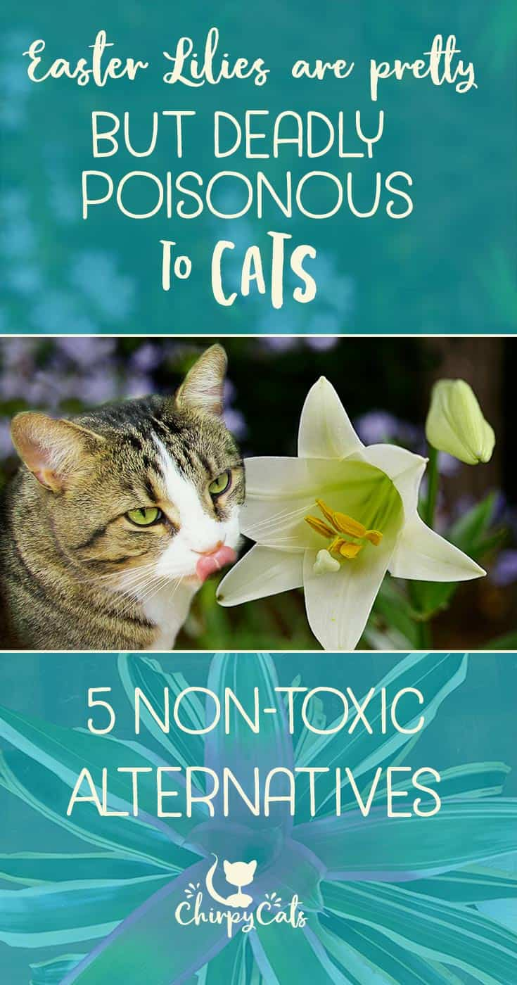 Easter lilies are deadly toxic to cats but are there cat safe lilies are toxic to cats but what are the alternatives izmirmasajfo