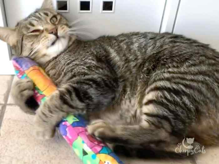 Baggy the cat kicking with his hind legs cat toy