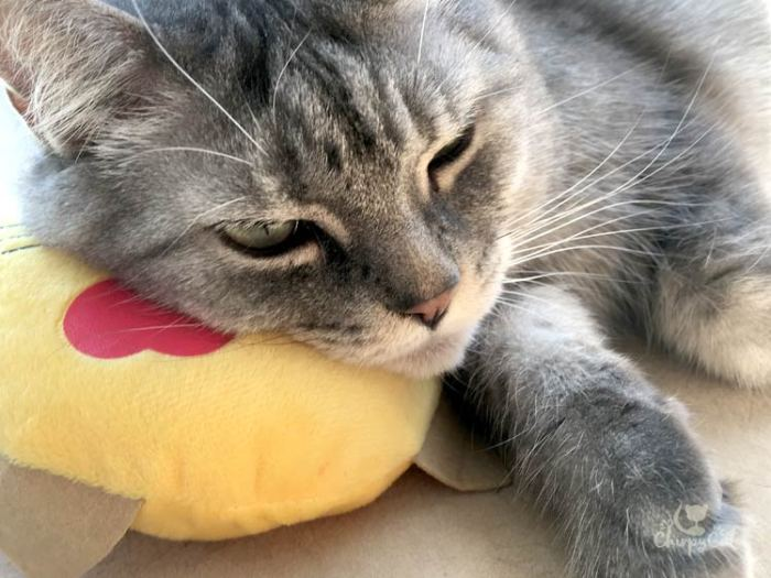 Mr. Jack snoozes on emoji pillow from KitNipBox