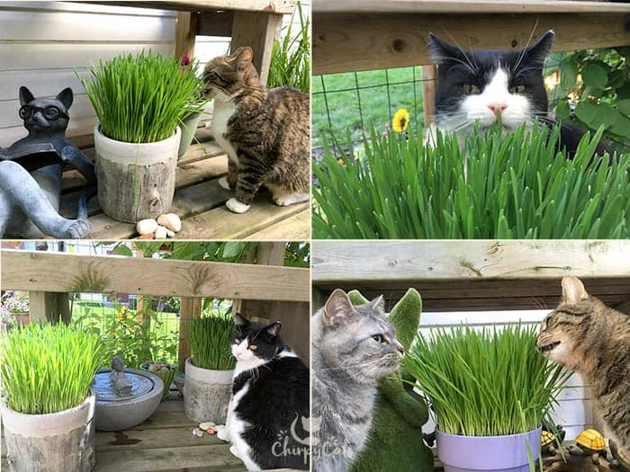 How to grow cat grass for your cat