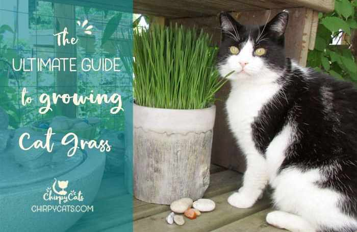 how to grow cat grass feature image - How To Get Rid Of Mold On Cat Grass