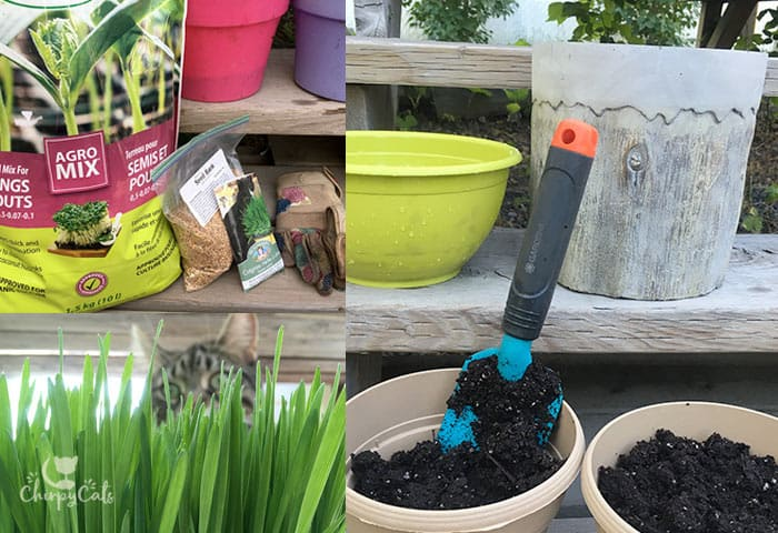 Growing cat grass is super easy and a great form of cat enrichment.