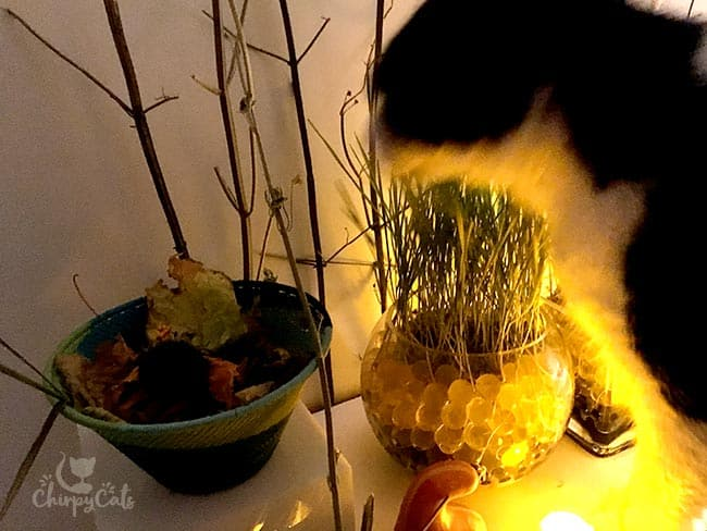 How to grow cat grass with water beads