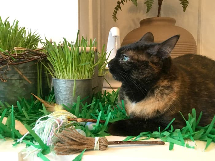 Tortie cat lounges at the Spring Oasis of cat grass and homemade toys