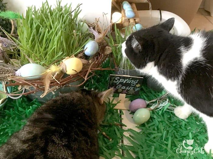 Curious tuxedo cat sniffs the bird nest made out of cat vine