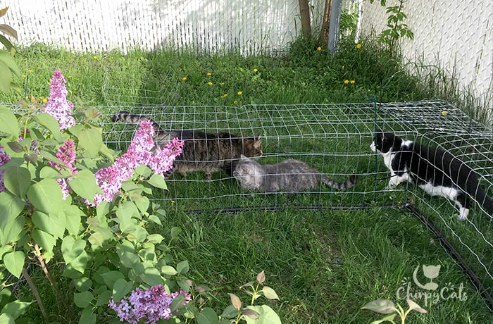 Cat exploring new diy outdoor cat tunnel made from galvanized mesh