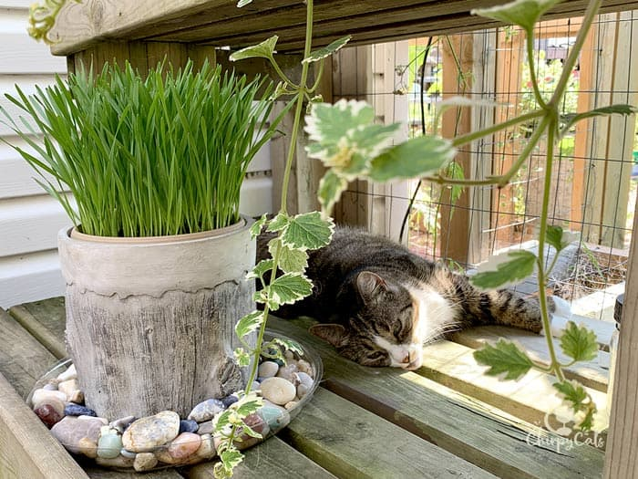tabby cat snoozes next to a pot on cat grass decorated with gemstones