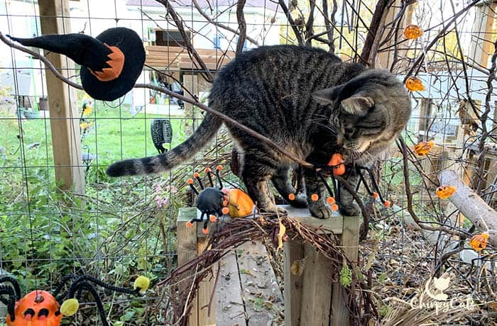 tabby cat sniffing cat vine on Halloween