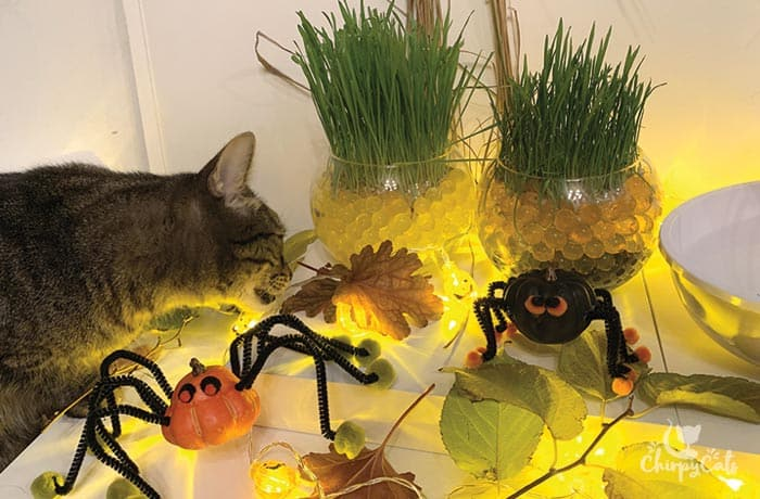 tabby cat at the holloween salad bar looking at DIY toys
