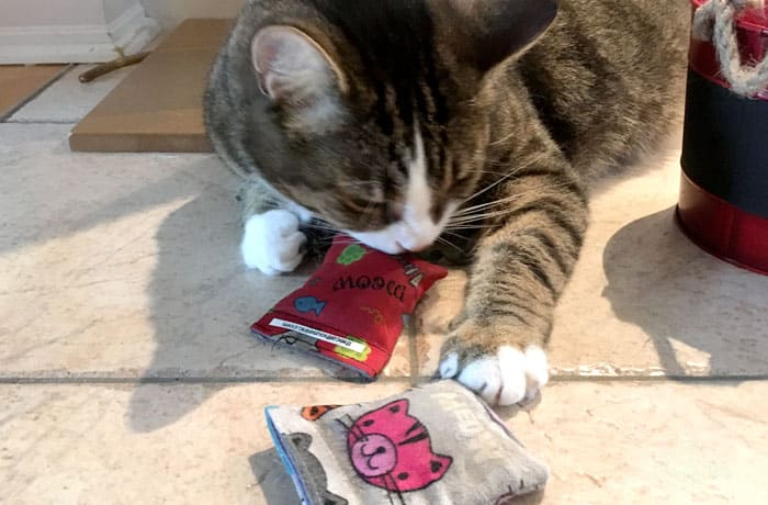 tabby cat sniffing and licking a pouch