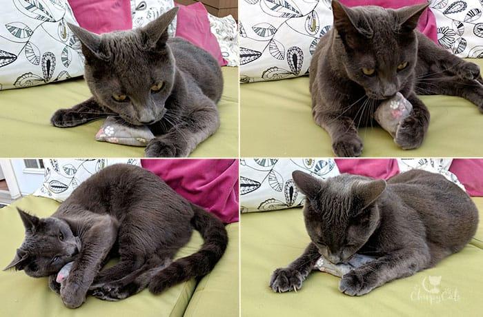 Grey cat playing