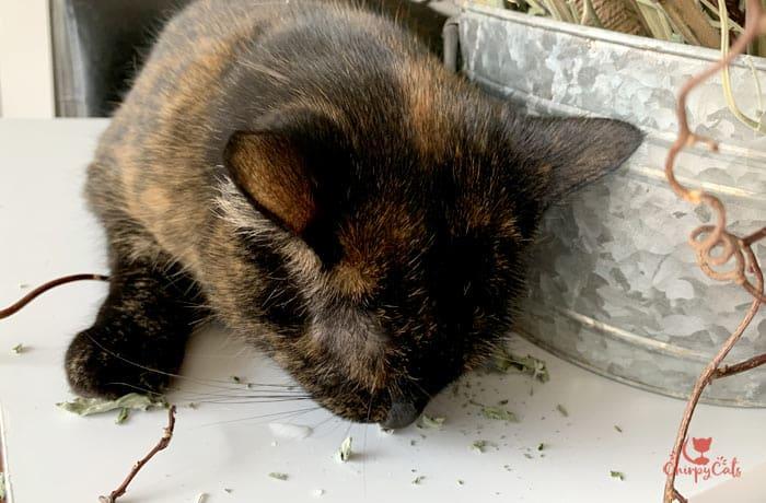 tortoiseshell cat enjoying and rolling in catnip