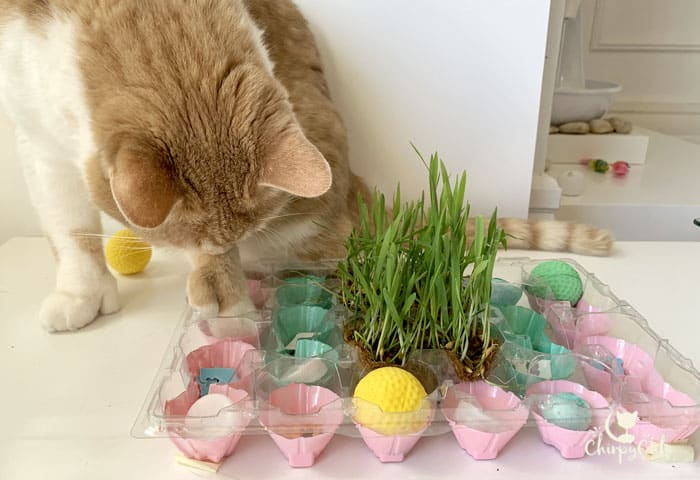 Ginger polydactyl cat foraging for food in puzzle feeder