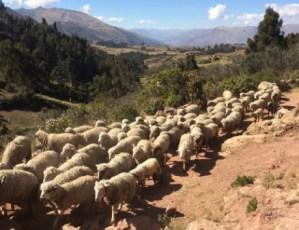 trek2 sheep1 avh