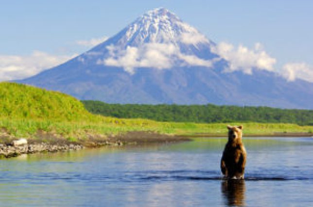 A bear stands while fishing for salmon in Tikhaya River. Kronotsky Volcano is in the background/n Kronotsky Zapovednikvolcano; wildlife; Kronotsky Zapovednik; Kamchatka; Brown bear