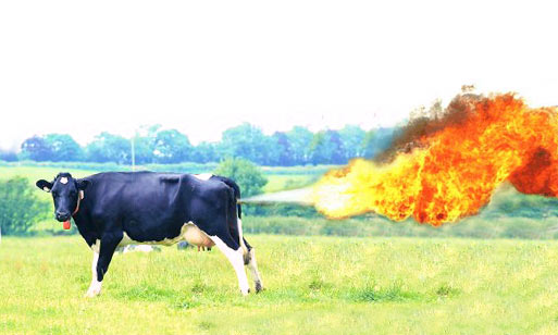 cows on fire