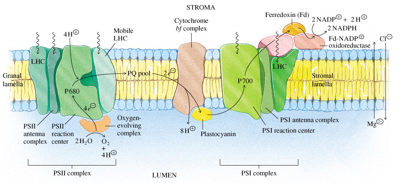 photosynthesis z scheme diagram laptop keyboard wiring photosystem 1 and 2 diagram, photosystem, free engine image for user manual download