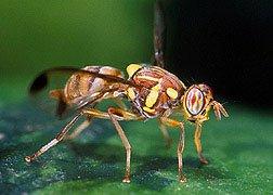 mosca del melón - Imagen de: http://entnemdept.ufl.edu/creatures/fruit/tropical/melon_fly.htm