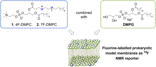 small resolution of  j f towards the use of monofluorinated dimyristoylphosphatidylcholines asf nmr reporters in bacterial model membranes journal of fluorine chemistry