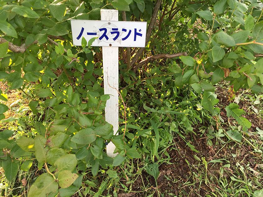 『ミルティーロ』の「カカオとピスタチオのジェラート」ブルーベリー栽培中