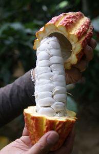 cacao bean inside baba
