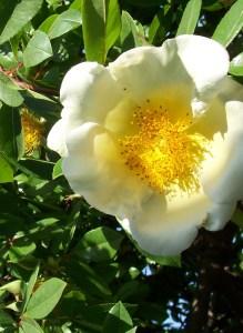 unthirsty climbing rose Mermaid adorn hot landscapes