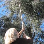 drought-tolerant-olive-tree-tips