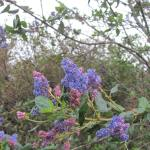drought tolerant evergreen California native Mountain Lilac shrub Ceanothus Ray Hartman