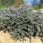 drought tolerant groundcover and slope stabilizer Prostrate Rosemary Rosmarinus prostratus