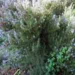 fragrant winter bloomer Mediterranean shrub Rosemary Rosmarinus officinalis