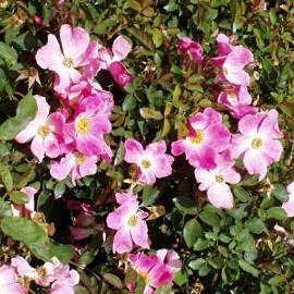 Shrub rose Nearly Wild suitable for the water-wise garden