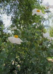 Romheya coulteri Matilija Poppy in the drought resistant landscape