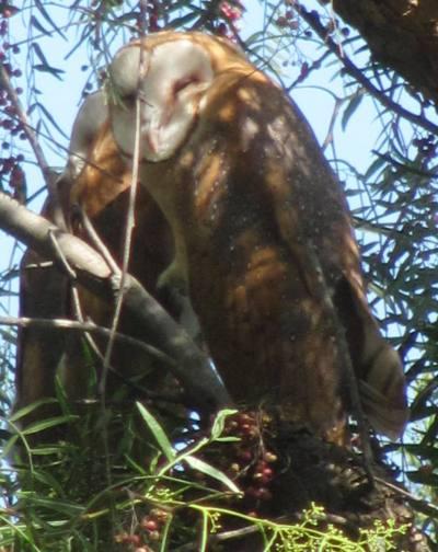 Barn Owl juveniles