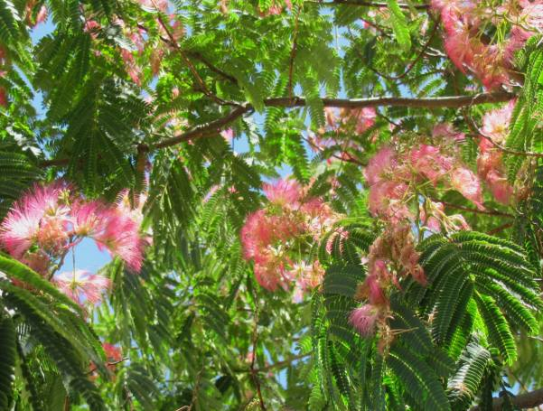 Silk Tree Albizia julibrissin