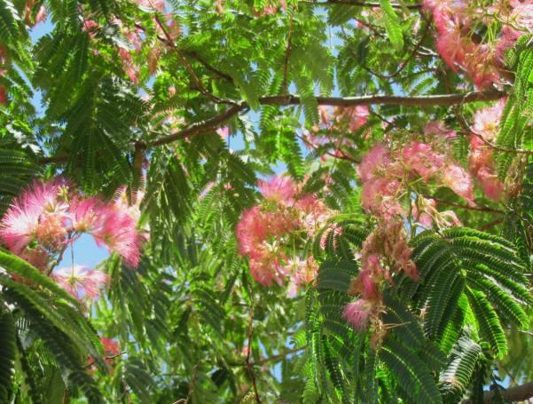 Silk Tree Albizia julibrissin