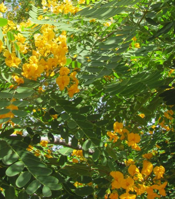 Tipu foliage and flowers