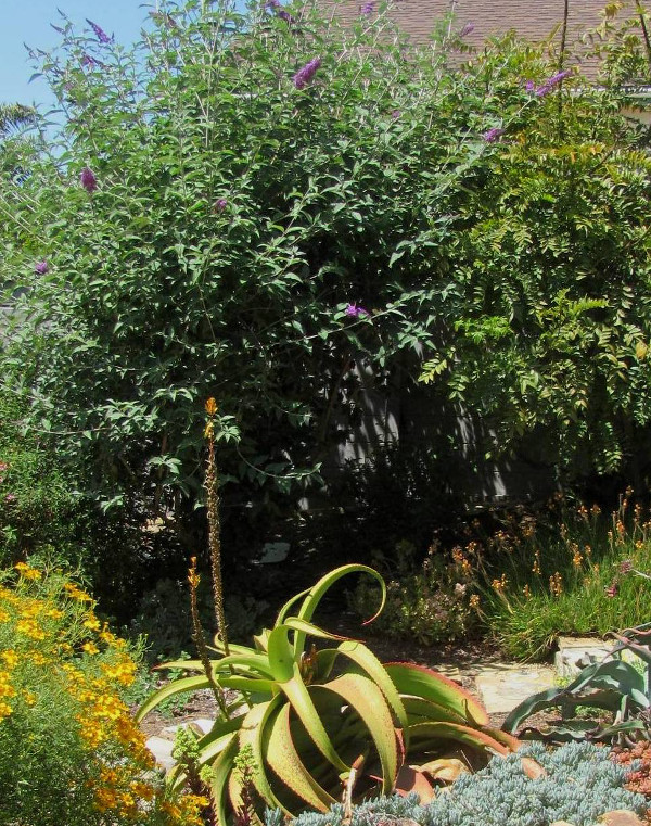 A butterfly bush in the background